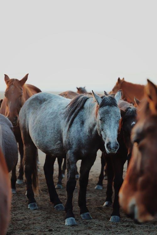 Herd of purebred horses domesticated ungulate mammal animals grazing in grassland in rural terrain