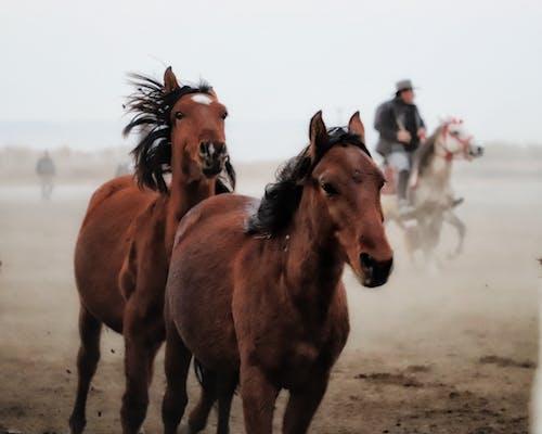 Chestnut horses running in pasture with horseman