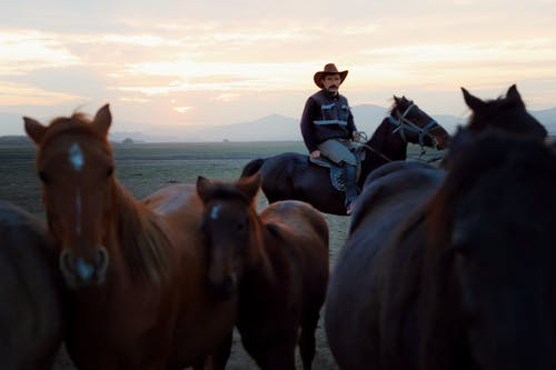 Cowboy sitting on horseback while pasturing herd of purebred domestic brown horses in hilly valley at sunset