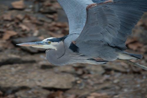 Gratis arkivbilde med fly, great blue heron