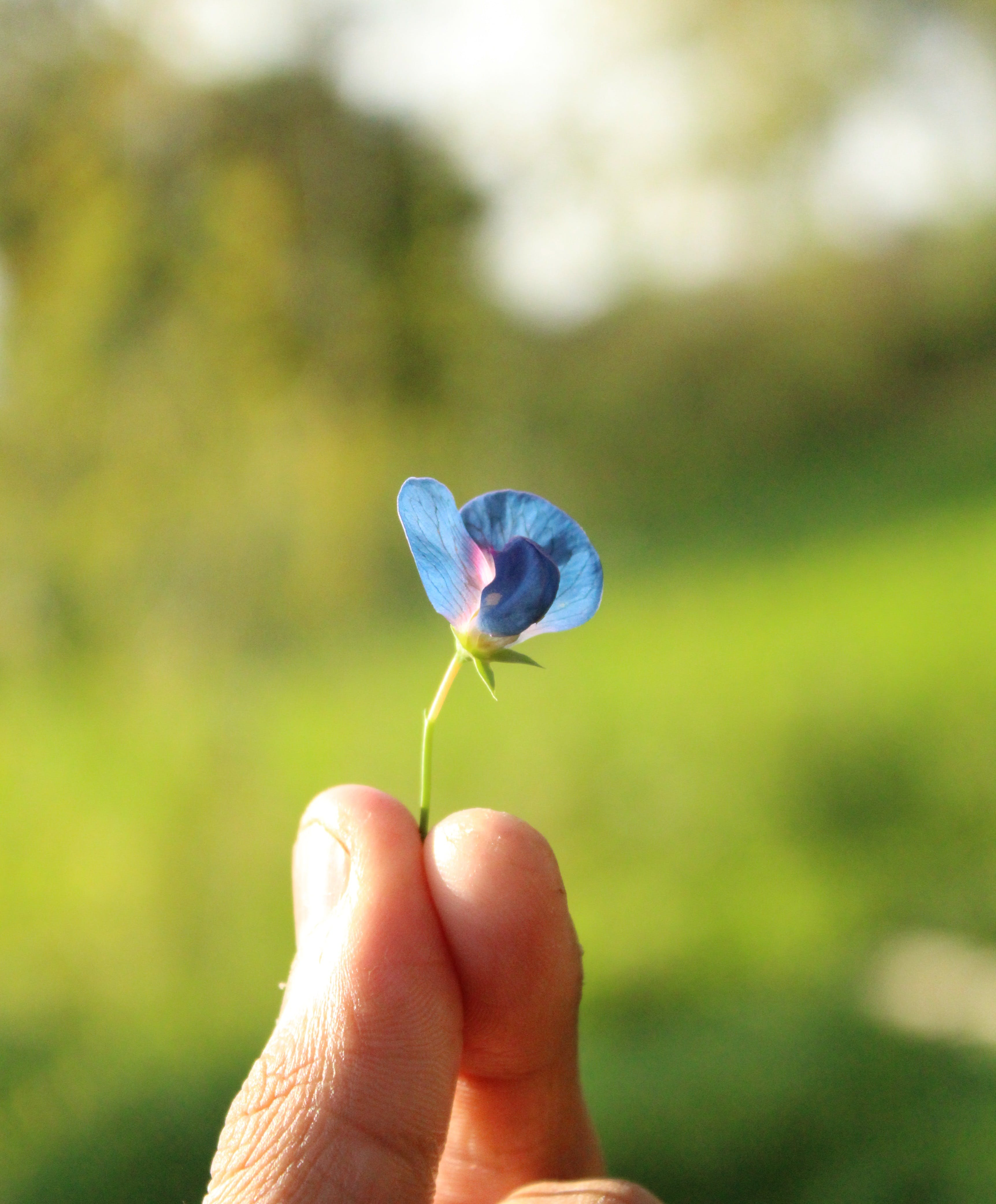 Small Blue Petaled Flower Held by Person's Fingers