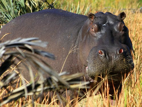 Free stock photo of hippo close up, hippo on land, hippopotamus