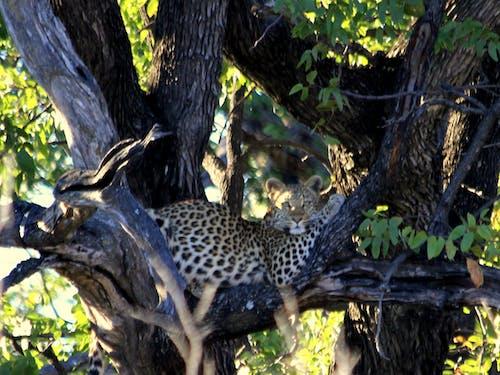 Free stock photo of leopard, leopard in tree