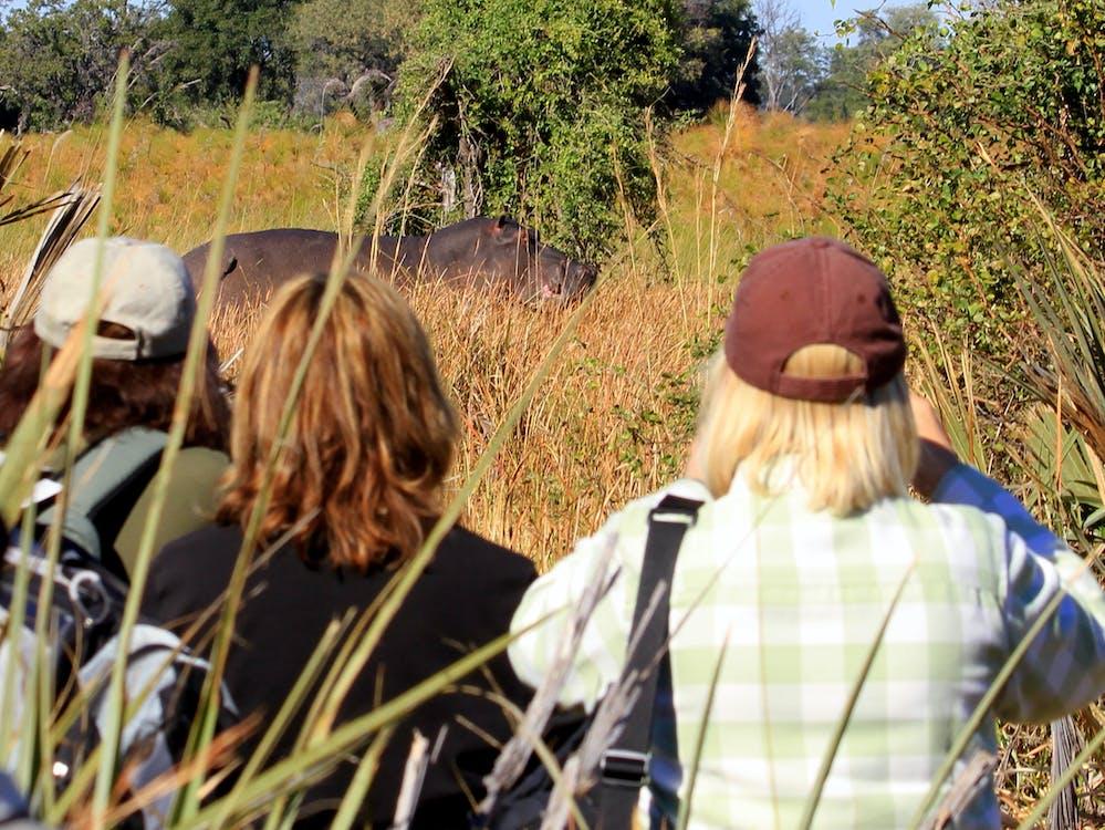 Free stock photo of hippopotamus, hippos, walking safari