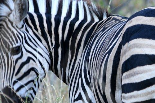 Free stock photo of zebra, zebra eye, zebra stripes