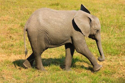 アフリカゾウ, サファリ, トランクの無料の写真素材