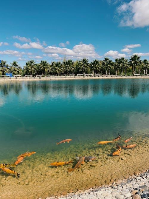 Immagine gratuita di animale acquatico, animale marino, carpa