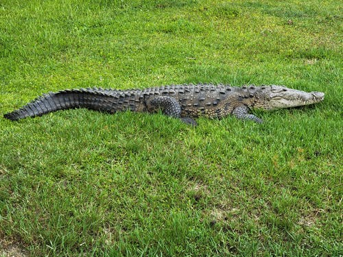 Black Crocodile on Green Grass Field