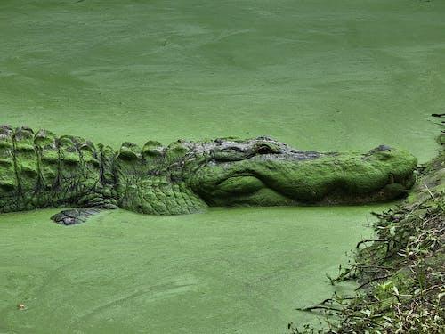 Free stock photo of alligator, amphibian, carnivore