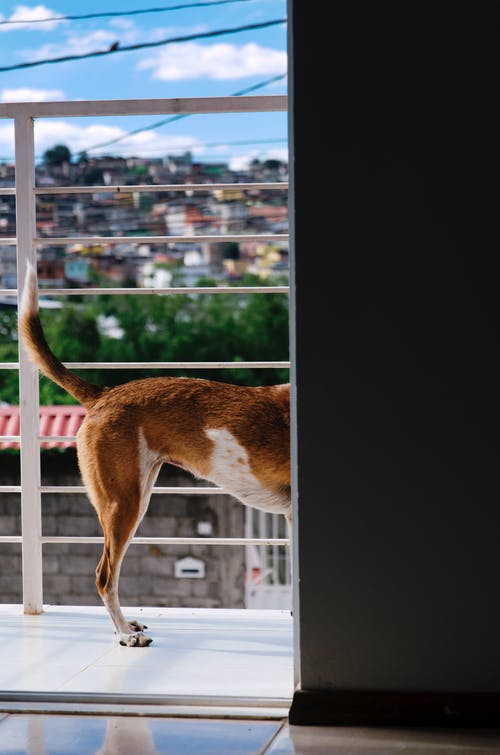 Brown and White Short Coated Dog on Window