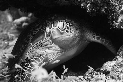 Grayscale Photo of a Sea Turtle