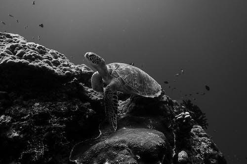 Monochrome Photo of a Sea Turtle Near a Coral Reef