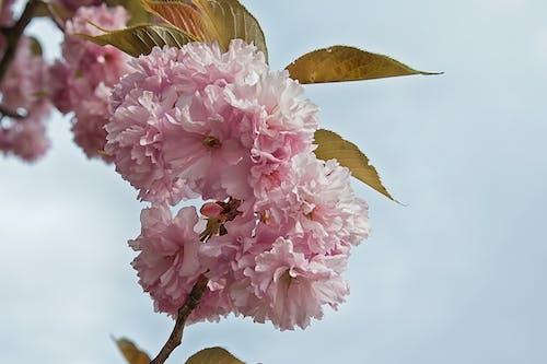 Free stock photo of cherry blossom