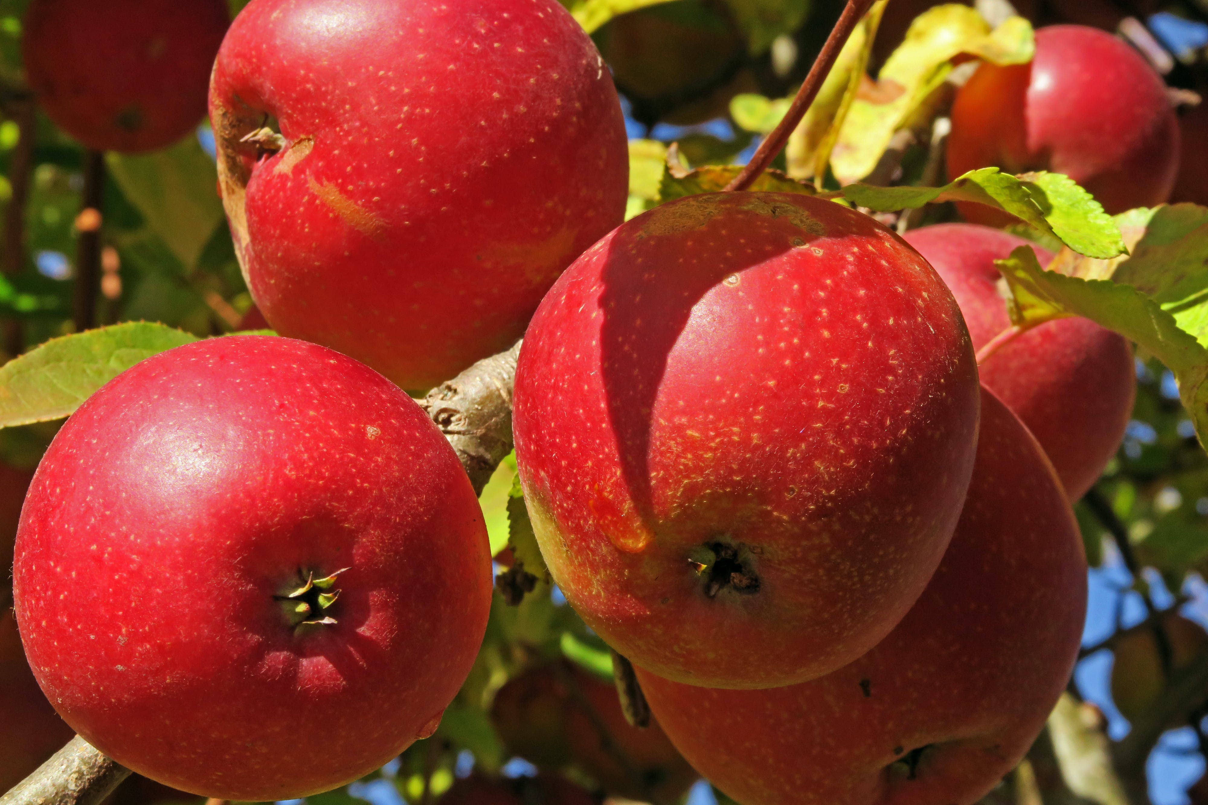 Free stock photo of apples, fruit, red, tree