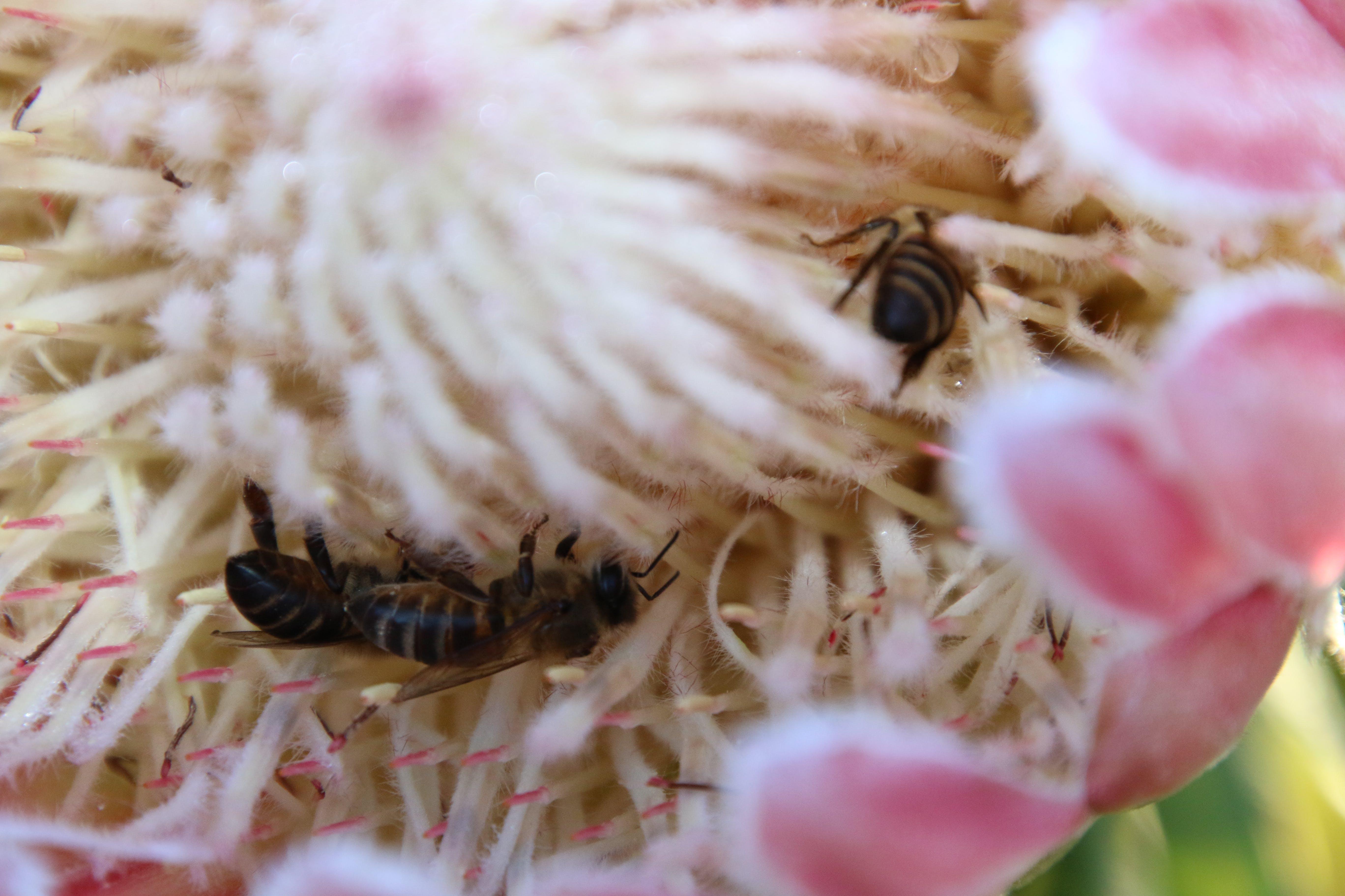 Kostenloses Stock Foto zu bienen, blume, insekten, natur