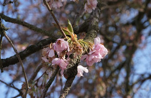 Free stock photo of bokeh, cherry blossom, flowers