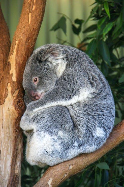 Curled Koala on a Tree Branch