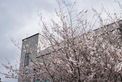 Free stock photo of cherry blossom, flowers, manchester