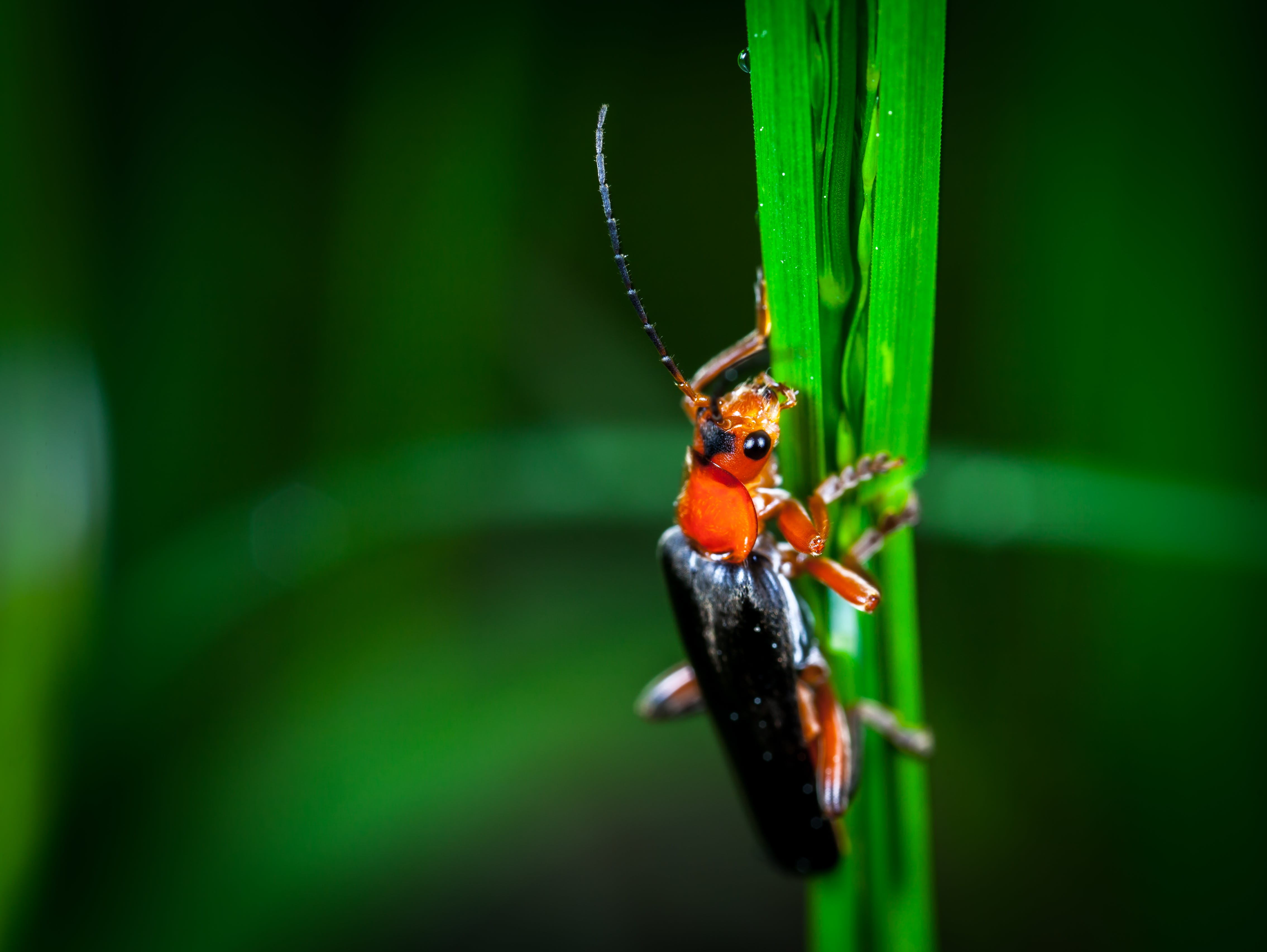 Macro Photography of Red and Black Blister Beetle