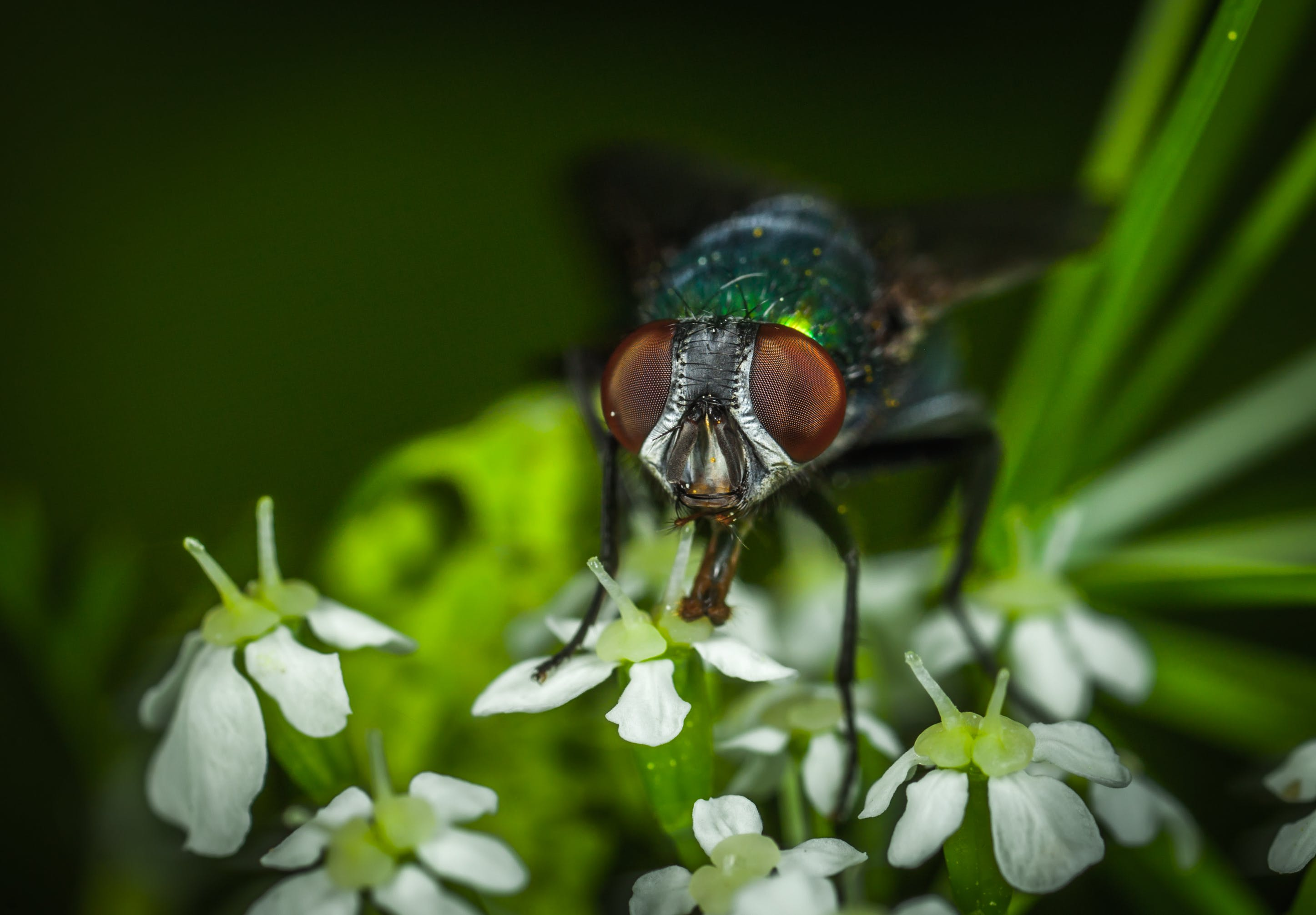 Focus Photography of Green Bottle Fly