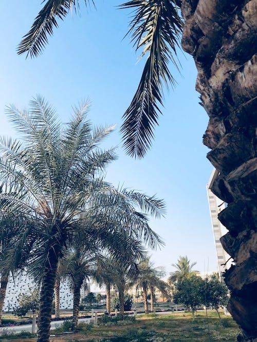 คลังภาพถ่ายฟรี ของ ต้นปาล์ม