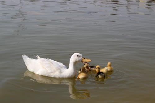 Free stock photo of duck, duckling, family