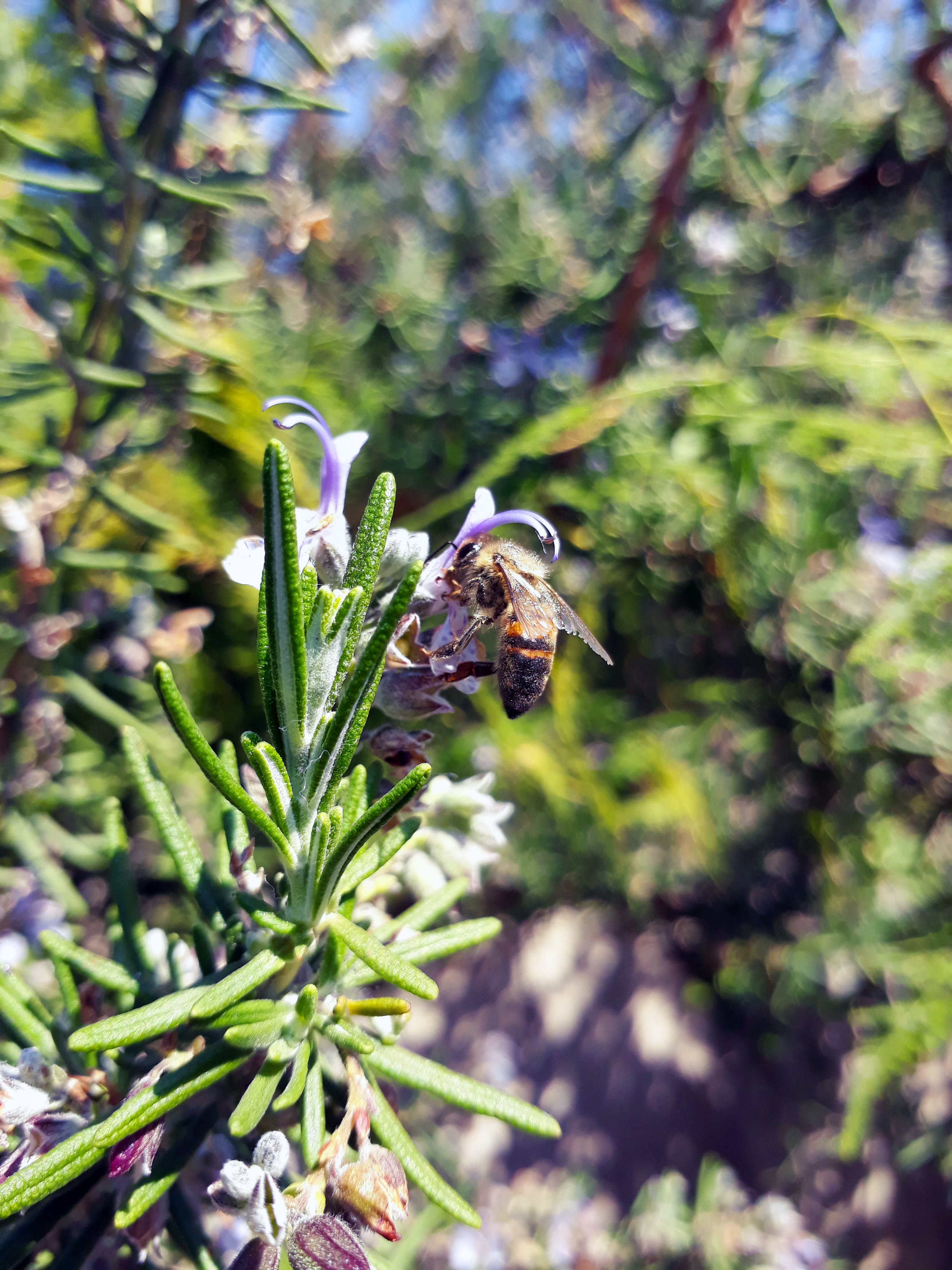 Free stock photo of bee, blooming, rosemary