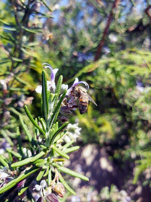 Fotos de stock gratuitas de abeja, floreciente, Romero