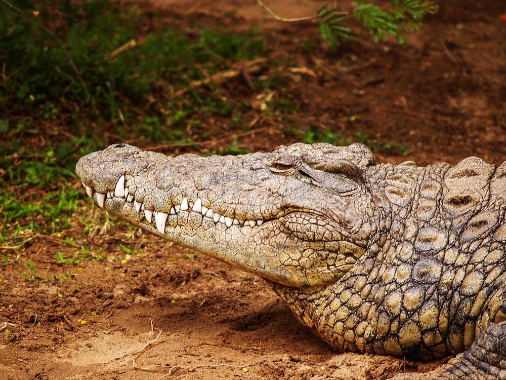 मगरमच्छ(Facts About Crocodile) के बारे में अद्भुत एवं रोचक तथ्य जो आप नहीं जानते होंगे