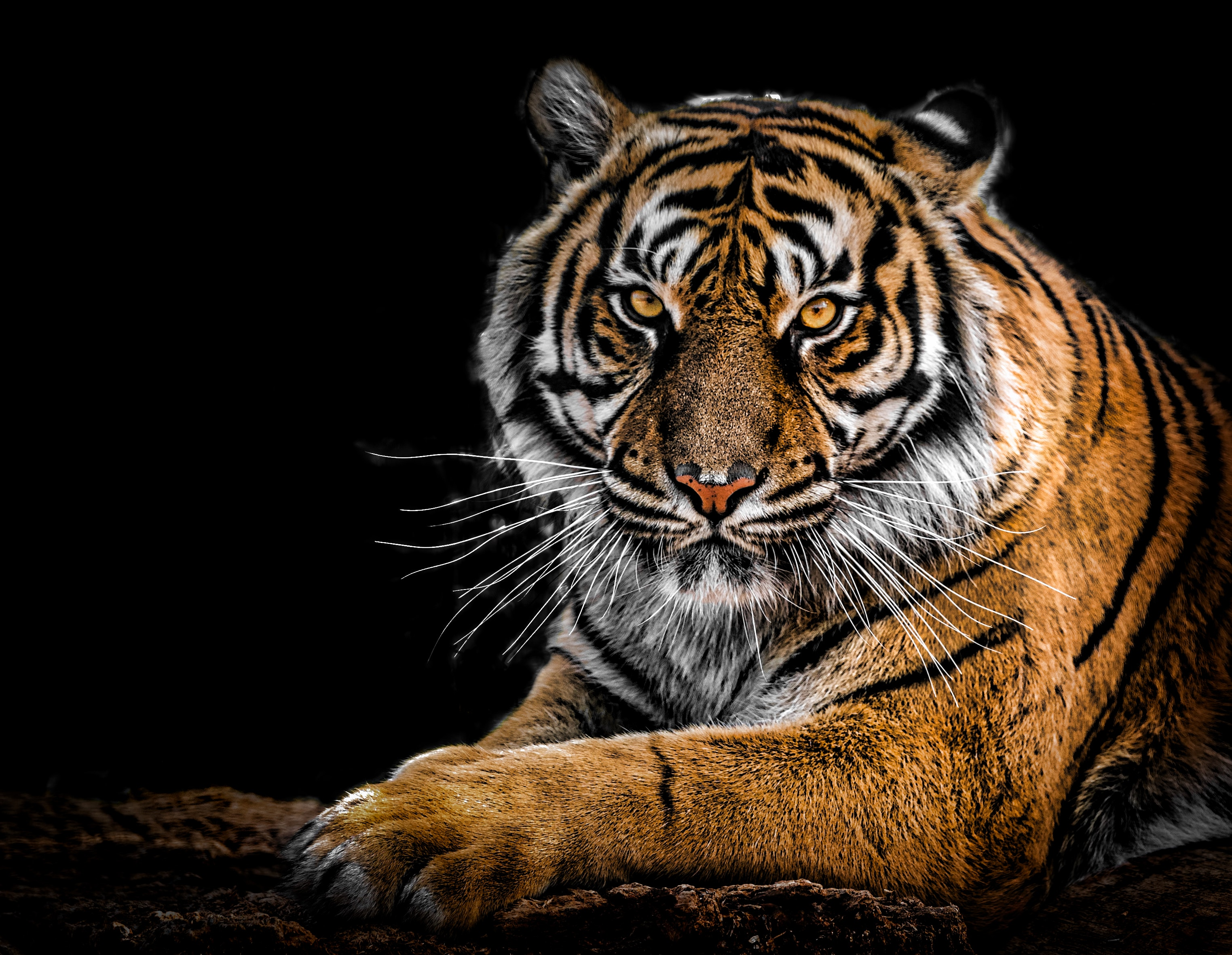 close-up photography of tiger · free stock photo