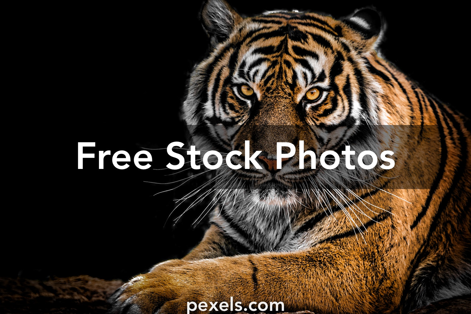 100 Majestic Tiger Pictures Pexels Free Stock Photos