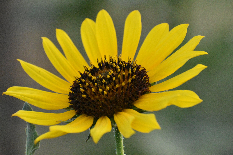 Free stock photo of sunflower, yellow
