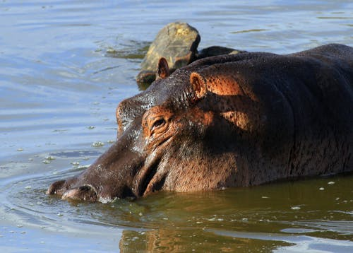 Free stock photo of hippo with bird, hippopotamus, hippos