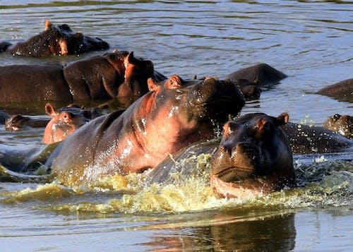 Free stock photo of hippopotamus, hippos, safari