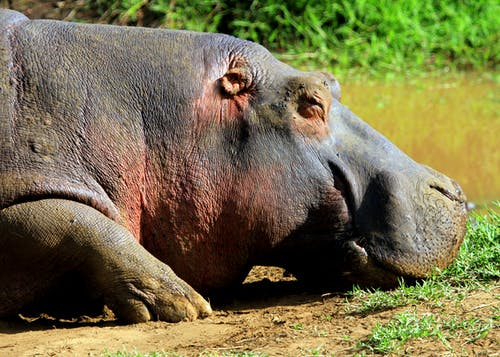 Free stock photo of african safari, hippopotamus, hippos