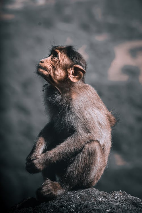 Free stock photo of 4k wallpaper, ape, baby