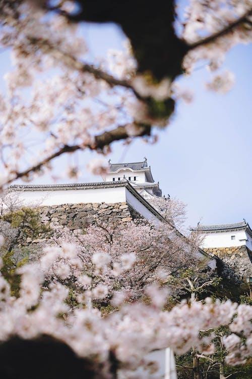 White Cherry Blossom Tree Near White Concrete Building