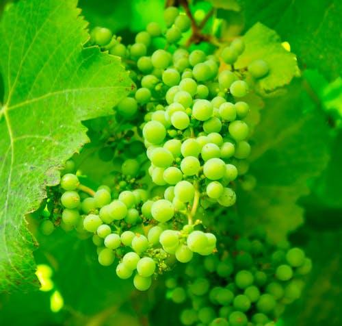Kostenloses Stock Foto zu früchte, grün, pflanze, trauben
