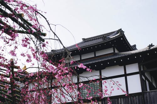 Pink Cherry Blossom Tree Near White and Black House