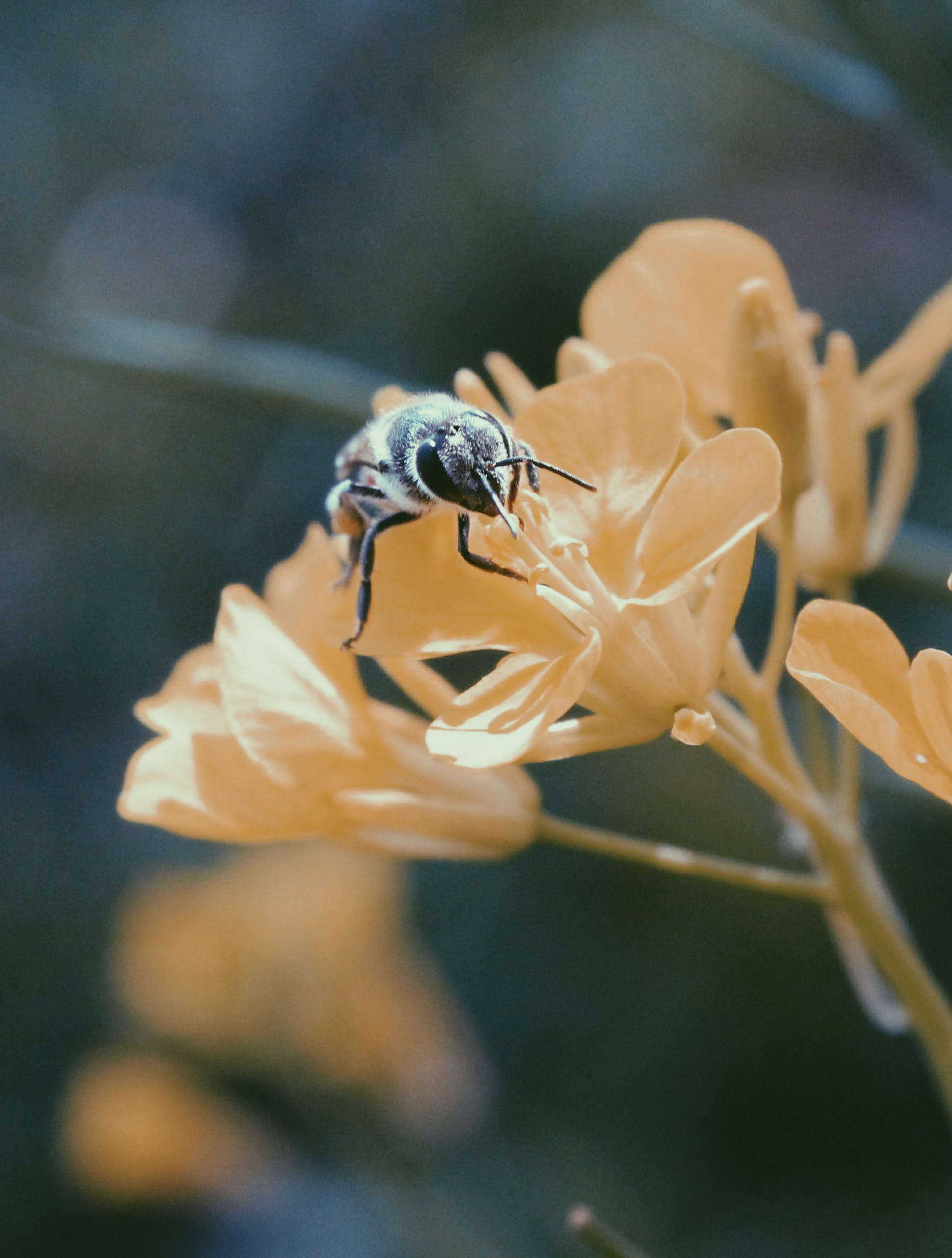 Black and Brown Honey Bee on White Flower