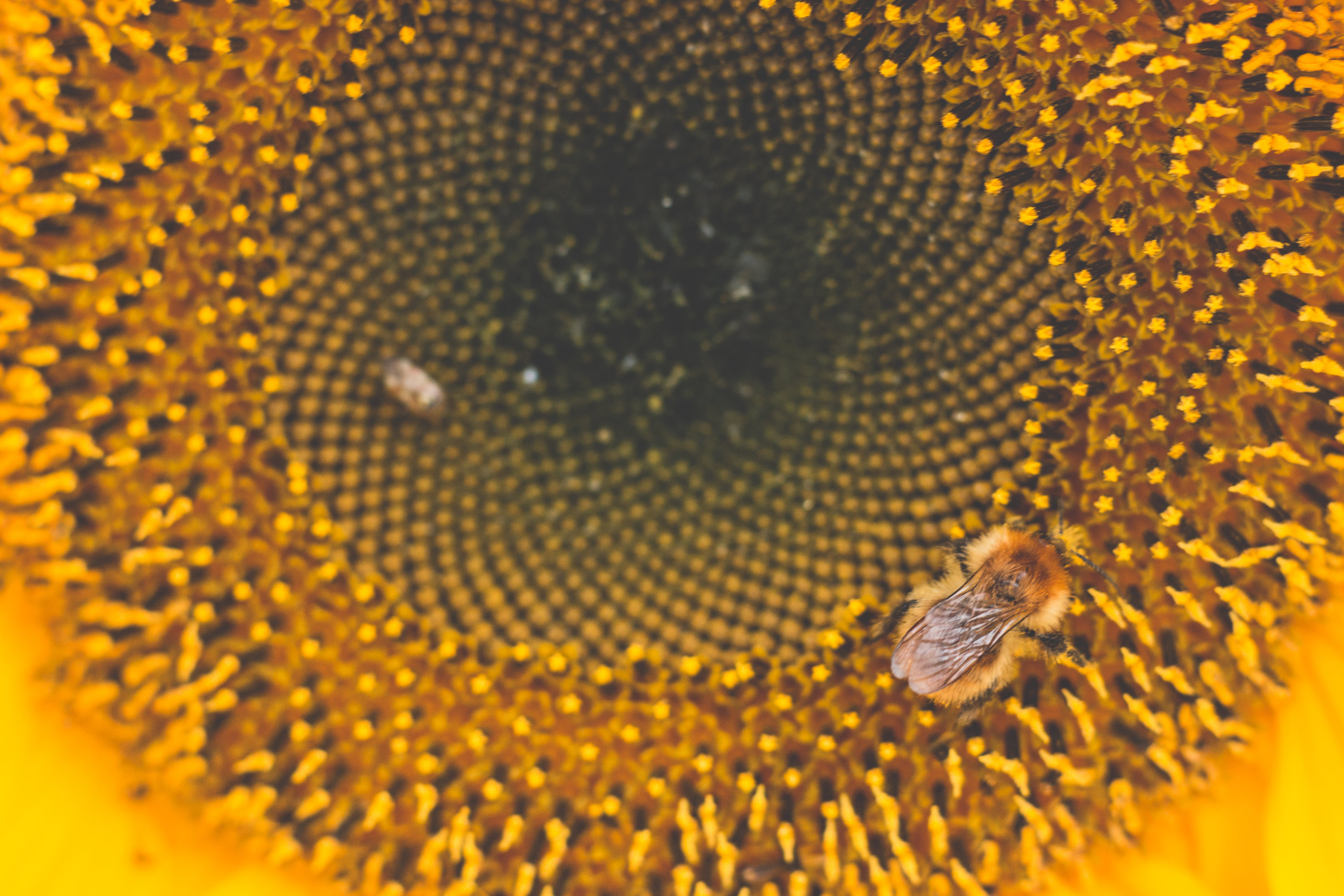 Honey Bee Perched on Sunflower Macro Photography