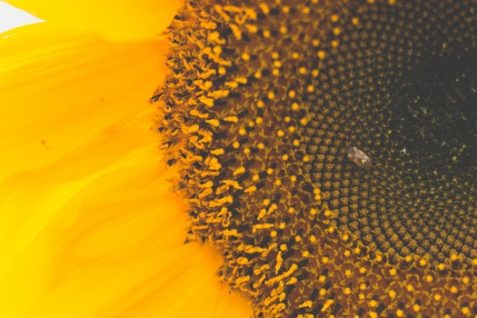 Macro Photography of Sunflower