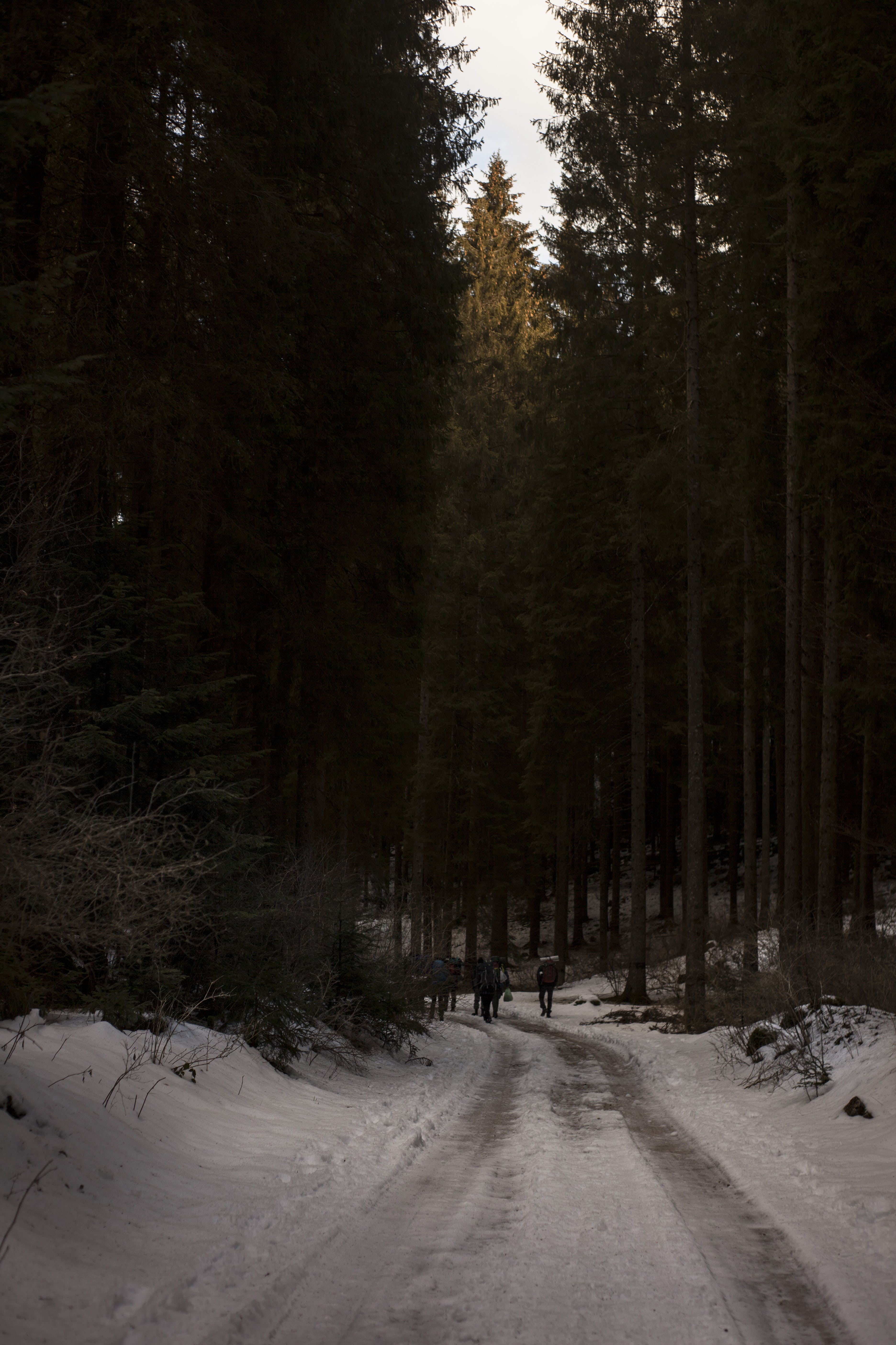 Two People Walking on Pathway Covered by Snow Near Tall Trees