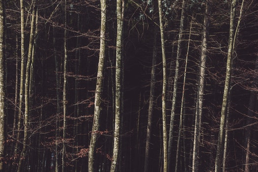 Birch Trees on the Forest