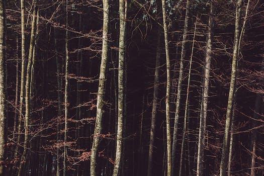 Árboles de abedul en el bosque