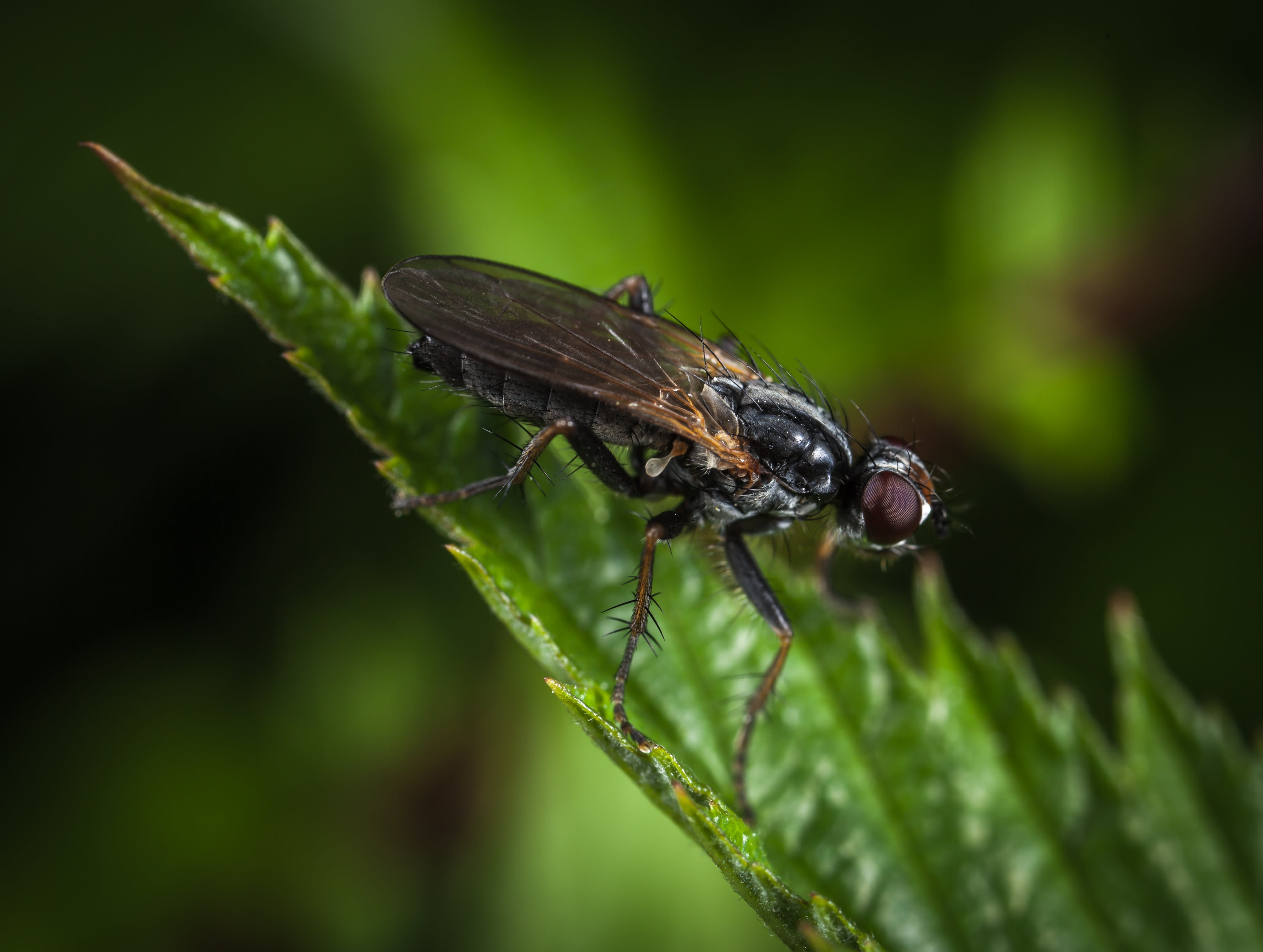 Macro Shot Photography of Black and Brown Housefly