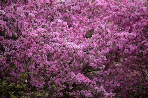 Foto stok gratis belukar, berbunga, berwarna merah muda