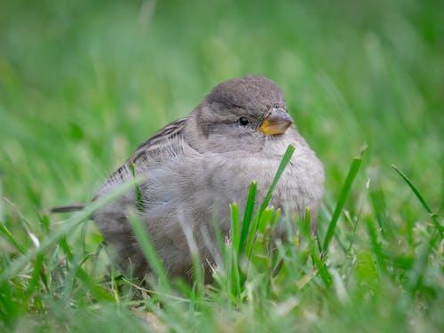 Immagine gratuita di passero, uccello