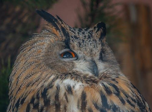 Immagine gratuita di gufo, uccello