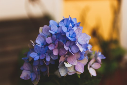 Selective Focus Photography of Blue Hydrangea Flowers